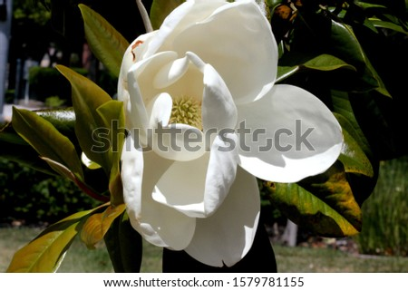 Magnolia grandiflora, Southern Magnolia Bull bay, graceful evergreen tree with leathery leaves, rusty beneath and large fragrant white flowers