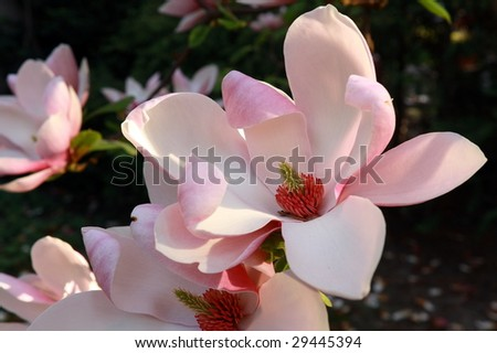 magnolia in sunset light