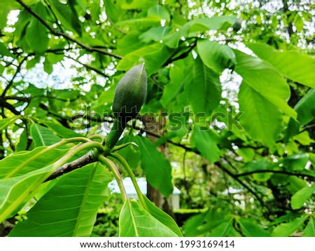 Magnolia leaves and buds, bourgeons,  burgeon, spring flower tree preparing to bloom Photo stock ©