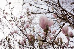 Magnolia. Paris. Spring