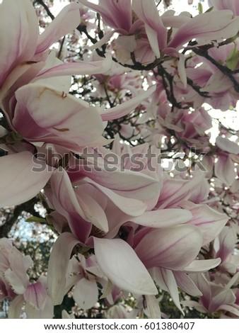 Magnolia, Park