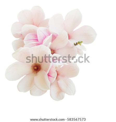 Magnolia pink flowers spring blossom isolated on white background