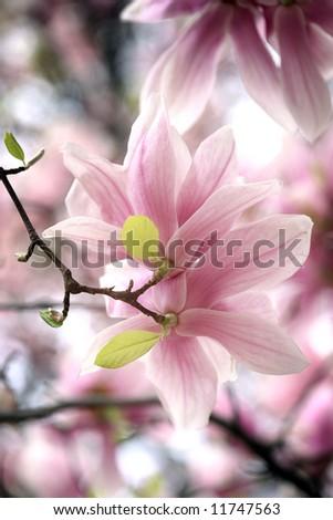 magnolia - pink , white