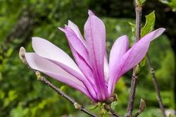 Magnolia Susan (Magnolia liliiflora x Magnolia stellata) in park, Moscow region, Russia