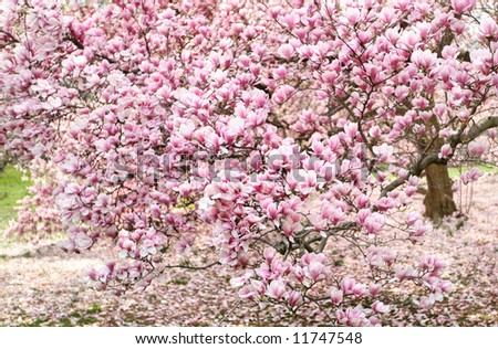 magnolia three- pink , white