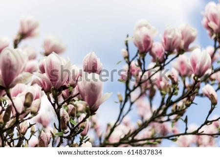 Magnolia Tree Stock foto ©