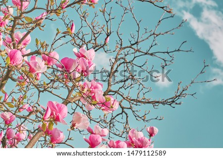 Magnolia tree blooms in large beautiful pink flowers of magnolia. Nature.