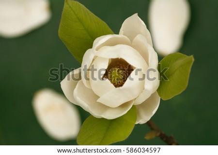Magnolia tree blossom / magnolia flower/ isolated on dark green background