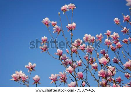 Magnolia tree flower blue sky - stock photo