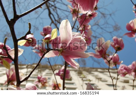 magnolia tree flower. stock photo : Magnolia tree flower close up with buildings