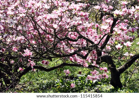 Magnolia tree in bloom. Many tender flowers.