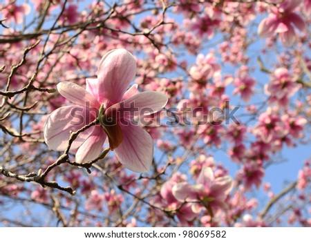 magnolia tree in springtime