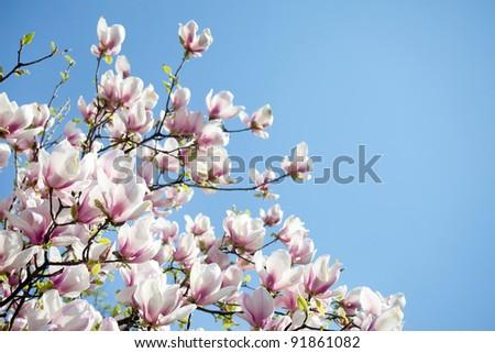 magnolia trees over blue sky