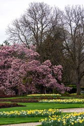 Magnolias and daffodils in the beautiful spring public gardens at Niagara Parks.