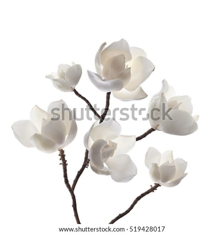 Stock Photo Magnolias flowers
