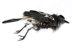 Magpie bird killed by cat, most of Magpie birds in nature are Predator of cat, Magpie bird dead isolated