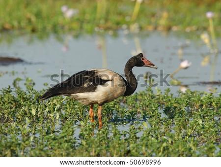 Magpie Goose in Kakadu National Park, Australia