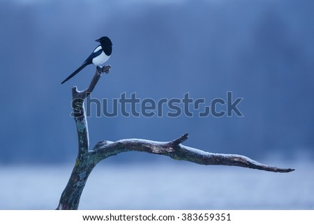 Magpie in wintertime during the blue hour