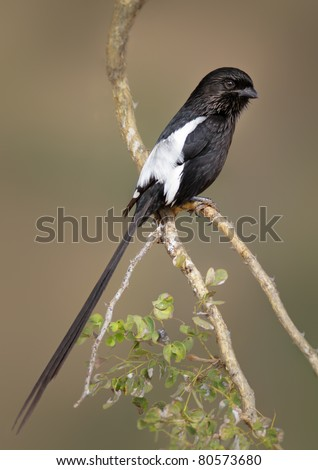 Magpie (Longtailed) Shrike ( corvinella melanoleuca ) -Kruger National Park, South Africa