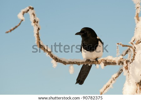Magpie (Pica pica hudsonia   ) on a branch. Black-and-white Magpie (Pica pica)  on a snow-covered branch in the winter.