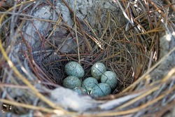 Magpie (Pica pica) nest is complex in structure. Massive elliptical structure of branches Hatching tray is covered with clay and is made of thin branches. Clutch of 7 eggs. Series