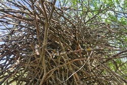 Magpie (Pica pica) nest is complex in structure. Massive elliptical structure of branches with roof. Hatching tray is covered with clay and is made of thin branches and grass. Good protection. Series