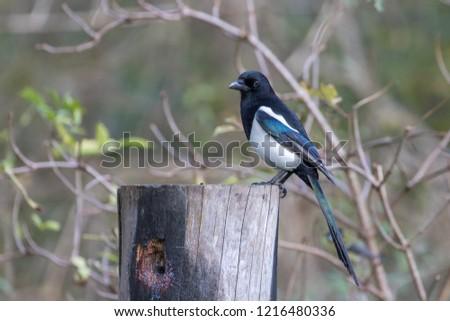 Magpie ( Pica pica ) perched