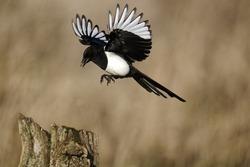 Magpie, Pica pica, single bird in flight, Warwickshire, January 2012