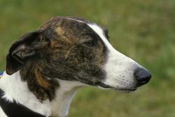 Magyar Agar, Hungarian Greyhound   , portrait