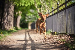 Magyar Vizla running in a field. Hungarian Dog have fun outdoor on a street in the park