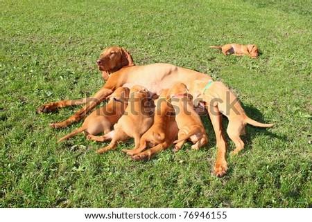 Magyar Vizsla - female dog with puppies