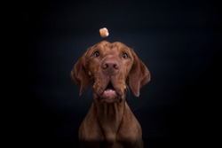 Magyar vizsla in the studio. Dog make a funny face while catching treats