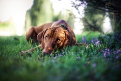 Magyar Vizsla lying in a field of flowers. Portrait of an hungarian dog in the grass