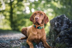 Magyar vizsla lying next to moss in a forest. Portrait of an hungarian dog
