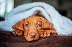 Magyar Vizsla Puppy  Dog