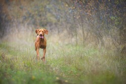 Magyar Vizsla running across a bush-lined meadow. This dog breed is also known as Hungarian Hound or Hungarian Pointer.