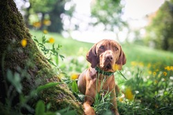 Magyar vizsla stand in a field of flowers. Portrait of an Hungarian dog next to a tree