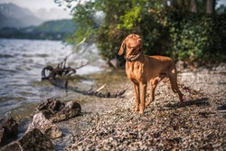 Magyar vizsla standing next to a lake.. Hungarian dog pose on the beach
