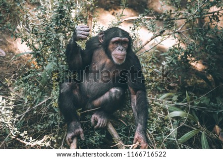 Mahale Mountains Chimpanzee is a part of the family Hominidae (the great apes).