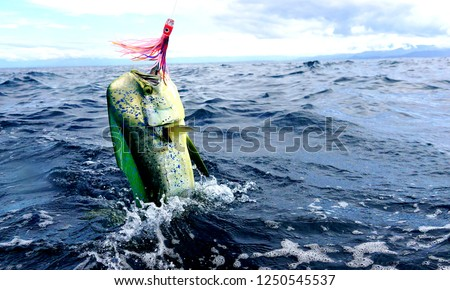 mahi mahi sport fishing Costa Rica with trolling lures  ストックフォト ©