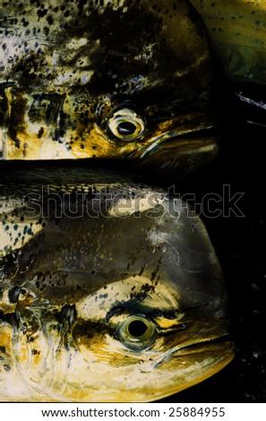 mahi or Dolphinfish in fish market