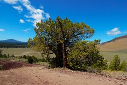 Mahogany Juniper - A large juniper tree on top of Little Mahogany Butte by the south end of Pine Mountain - near Milligan, OR