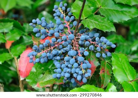 Mahonia aquifolium (Oregon-grape or Oregon grape) is a species of flowering plant in the family Berberidaceae, native to western North America.