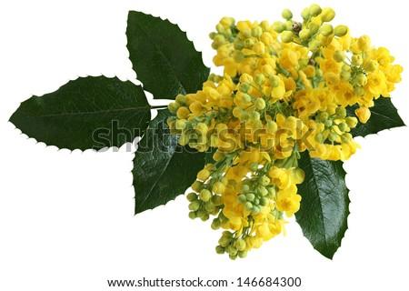 mahonia aquifolium oregon grape ...