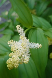 Maianthemum racemosum, the treacleberry, feathery false lily of the valley, false Solomon's seal, Solomon's plume or false spikenard