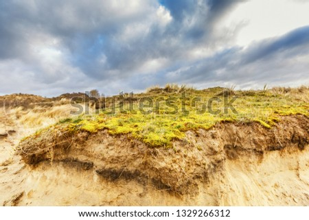Maidenhair, Polytrichum commune, on coating of sand dune with underlying layers profile of dune development and roots of deep rooting duce races against overcast sky with overcast #1329266312
