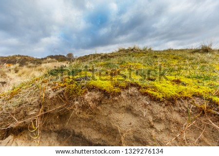 Maidenhair, Polytrichum commune, on coating of sand dune with underlying layers profile of dune development and roots of deep rooting duce races against overcast sky with overcast #1329276134