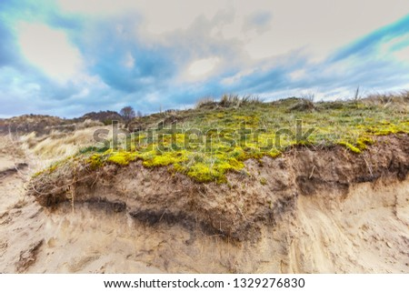 Maidenhair, Polytrichum commune, on coating of sand dune with underlying layers profile of dune development and roots of deep rooting duce races against overcast sky with overcast #1329276830