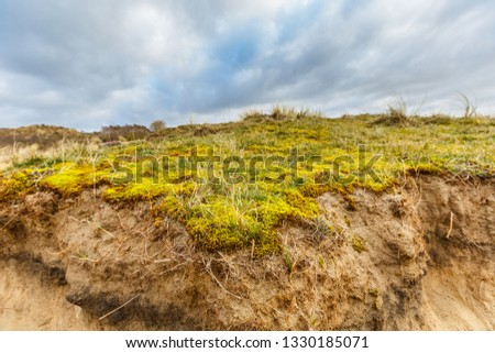 Maidenhair, Polytrichum commune, on coating of sand dune with underlying layers profile of dune development and roots of deep rooting duce races against overcast sky with overcast #1330185071