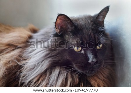 Main Coon is a big domestic cat with gorgeous black coat and green eyes, staring straight ahead. Very big black cat #1094199770